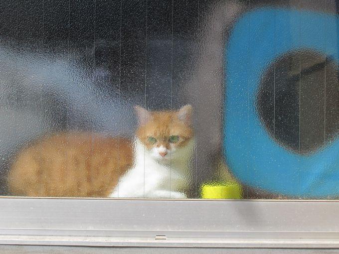 窓を見つめる猫