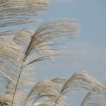 お月見に飾るススキの由来。秋の七草って食べられるの?時期は?