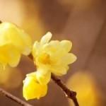 寒中見舞いの自作はがきに使う花の種類は?喪中の場合はどうしたらいい?
