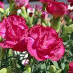 鉢植えのカーネーションを長持ちさせる育て方。植え替えは必要?