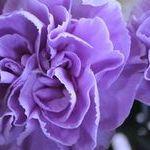 母の日の青いカーネーションの花言葉は?ムーンダストの苗や鉢植えは?