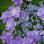 母の日の鉢植えをカーネーション以外の花で。アジサイや珍しい花を紹介