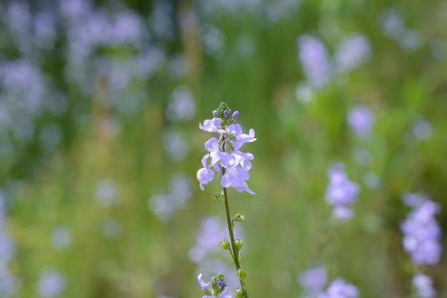 マツバウンランの花