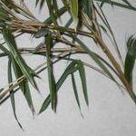 七夕の笹の保存方法。枯れるのを防ぐ方法はある?鉢植えにできる?