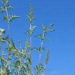 ブタクサの花粉の時期は?飛散距離や大きさは?