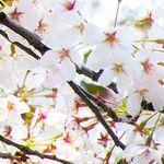 桜の枝を折る