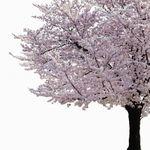 梅と桃と桜の見分け方を写真で。開花時期の違いは?