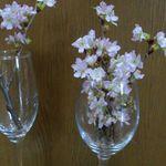 桜の枝を花瓶に飾る。簡単な生け方や飾り方