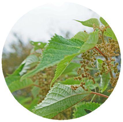 カラムシの葉