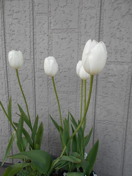 アイスチューリップの花は長く咲く