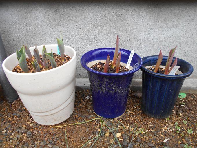 冬咲きチューリップの芽