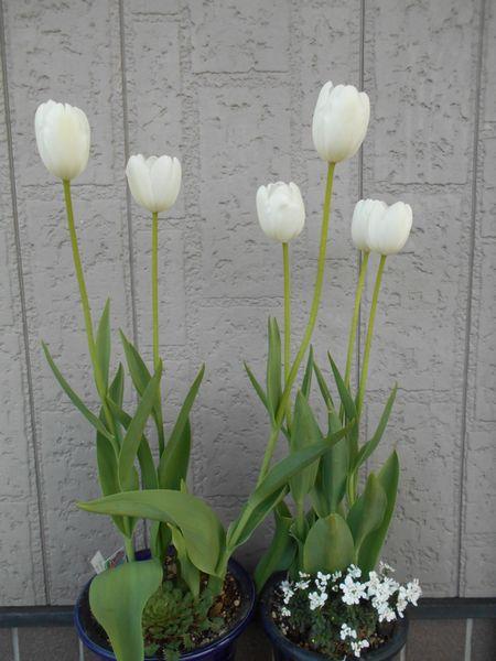 チューリップの花が開いた