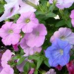 2色のペチュニアで寄せ植えハンギング