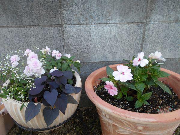 カリフォルニアローズフィエスタの寄せ植えとサンパチェンス