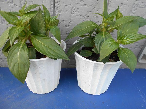 サンパチェンスの苗を植える