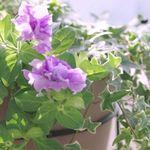 春の寄せ植えにおすすめの植物