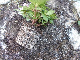 花壇に植えるサンパチェンスの根