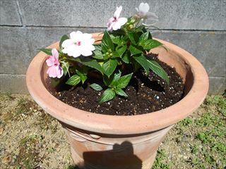 サンパチェンスを鉢に植え替える