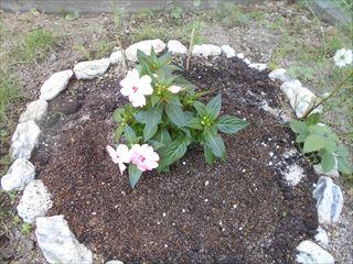 サンパチェンスを花壇に植える