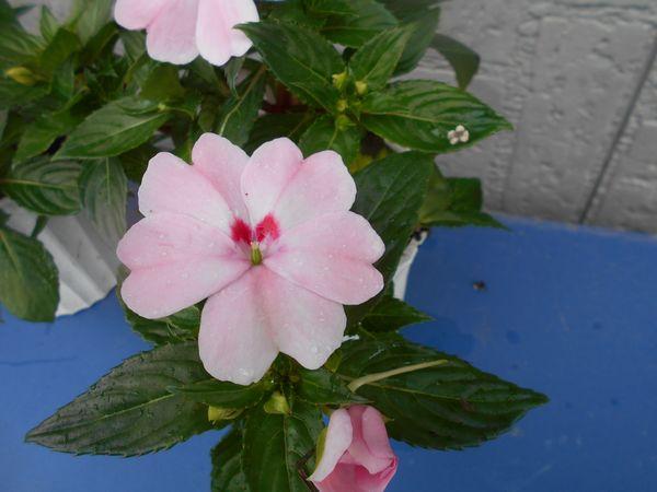 サンパチェンスの花が咲いた