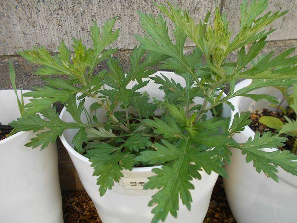 よもぎの鉢植え