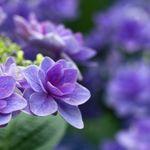 種苗法と挿し芽