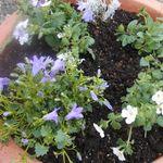 紫色の花の寄せ植え