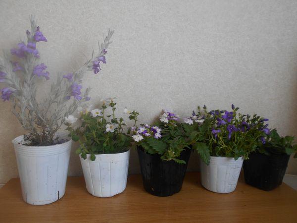 寄せ植え用の花の苗