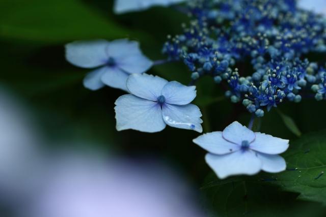 紫陽花の挿し木
