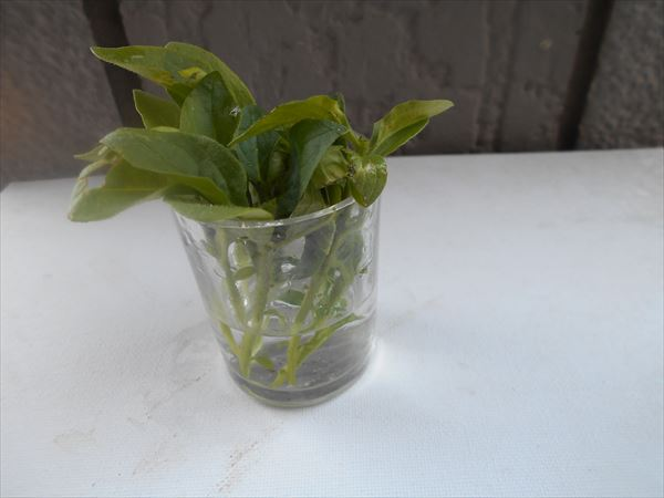 挿し穂を水に浸ける