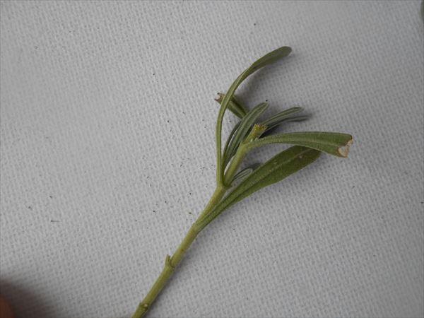 挿し芽の先端を切る