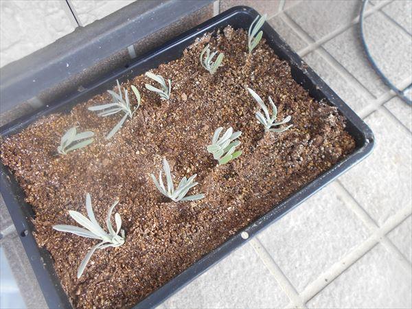 挿し芽を土に挿す