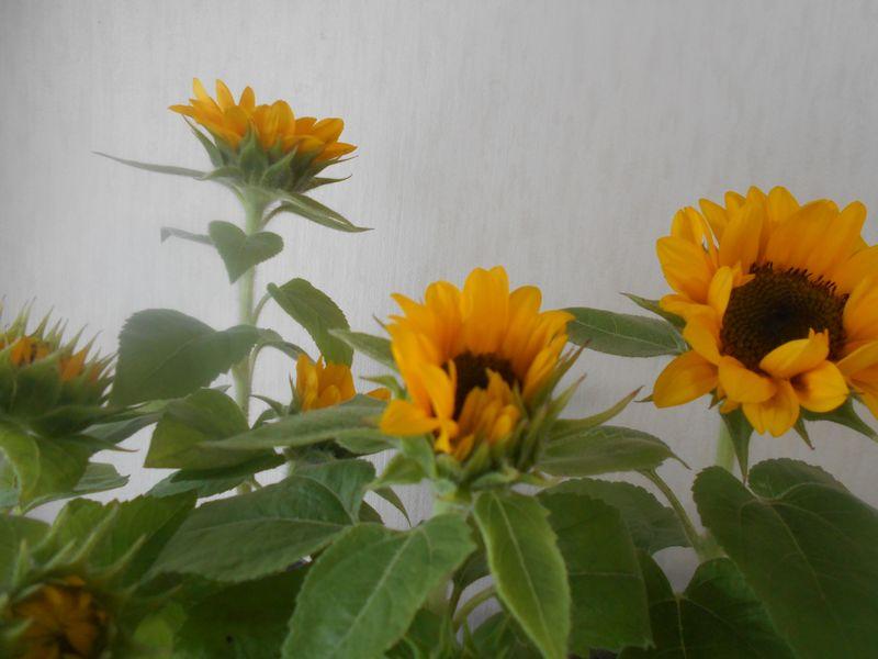 ミニヒマワリの花