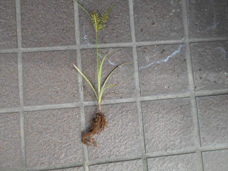 カヤツリグサの根