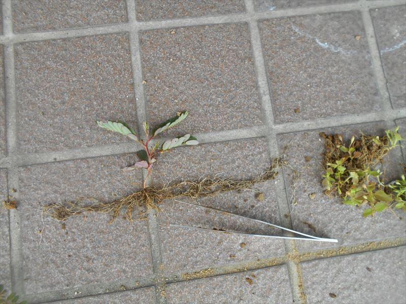 コミカンソウの根
