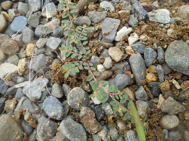 コニシキソウの葉
