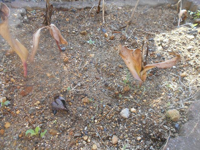 茎が枯れたチューリップ