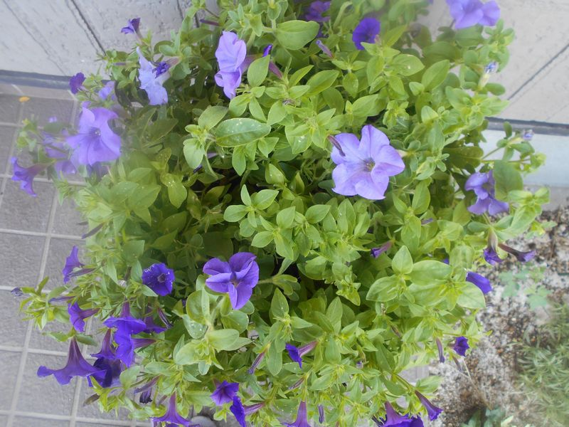 紫色のペチュニアの寄せ植え