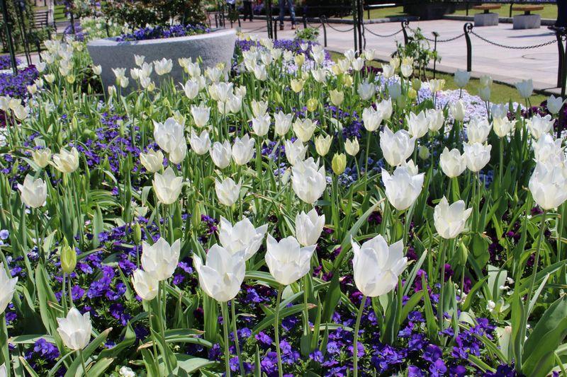 花壇の白いチューリップ