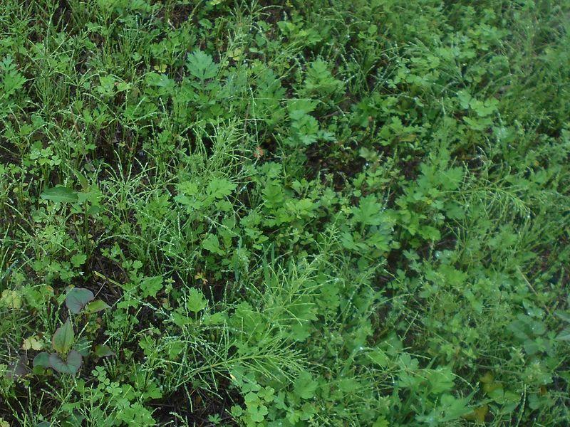 宿根性の雑草