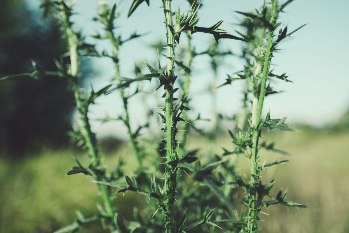 とげのある雑草