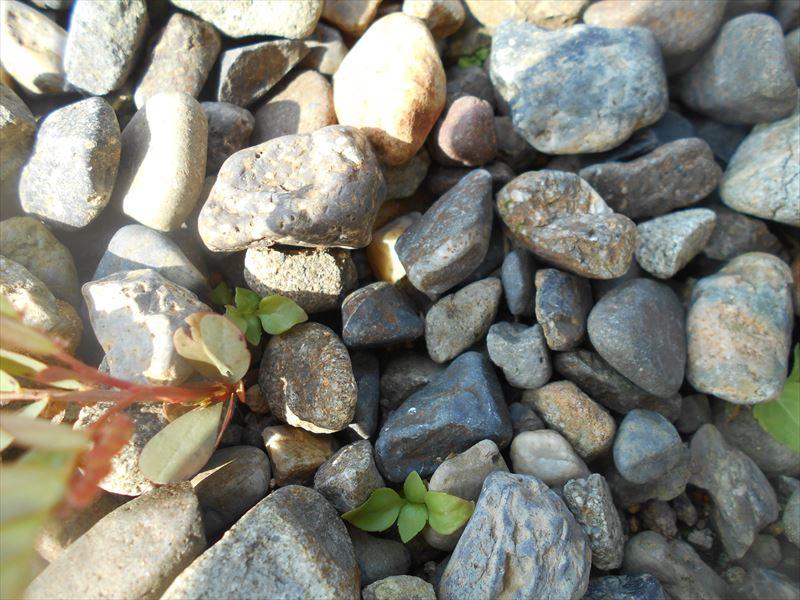 トキハハゼの芽