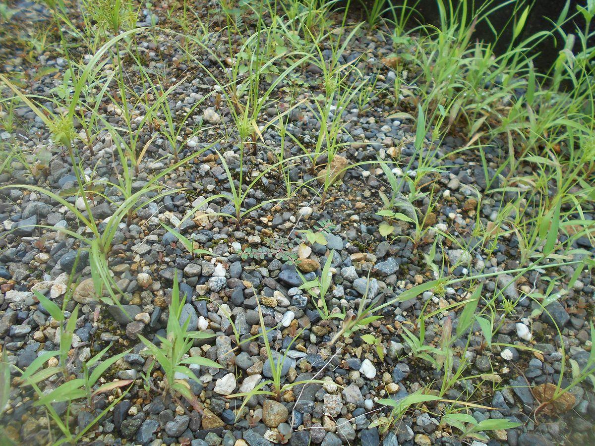 砂利の草むしり
